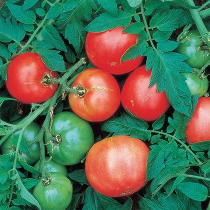 Arkansas Traveller Tomato Plant Start