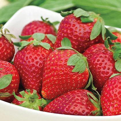 Albion Ever Bearing Strawberry, 1 gallon pot Plant Start