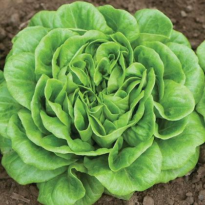 Salanova Green  Butterhead Plant Start