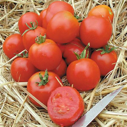 Stupice Tomato Plant Start