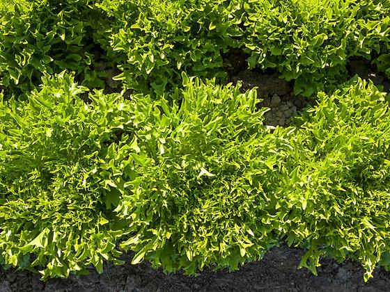 Eazy Green Leaf Lettuce Plant Start