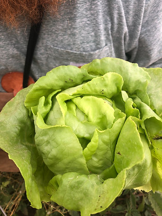 Nancy Butterhead Lettuce Seed