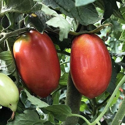 Amish Paste Tomato Plant Start