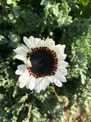 Zulu Prince Daisy Seed