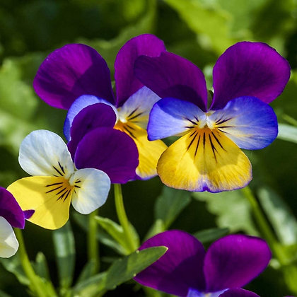 Viola Edible Flower Plant Start