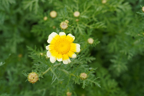 Shungiku Chrysanthemum