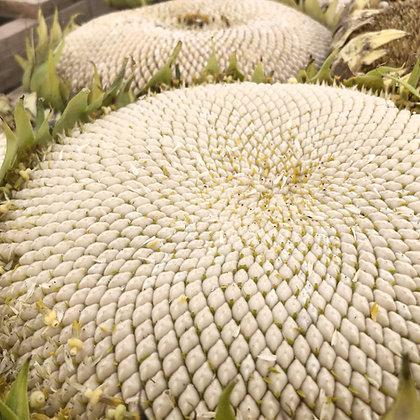 Tarahumara Sunflower Seed
