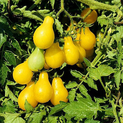 Beam's Yellow Pear Plant Start