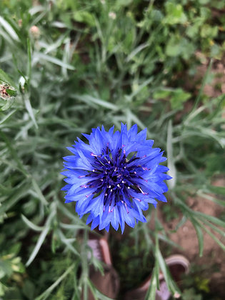 Baby Blue Bachelor Button Seed