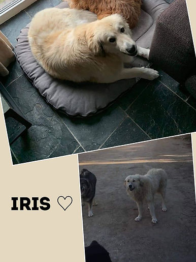 Iris_Hund.jpg