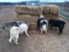 Stroh mit Hunden 4.jpg