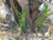 Baum_schlägt_aus.jpg