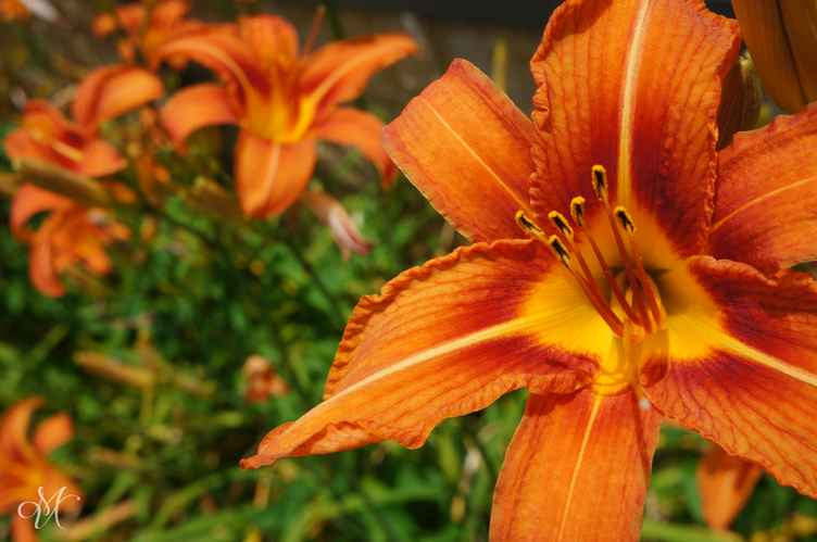Eye of the Tiger Lily