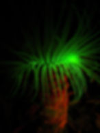 Pachycerianthus mana FL-08.JPG