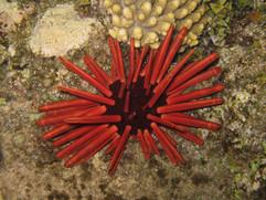 PENCIL Heterocentrotus mammillatus EG-11