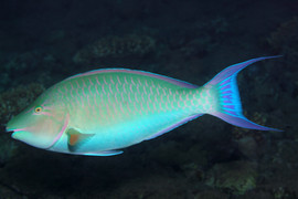 PARROTFISH Hipposcarus harid EG-22.JPG