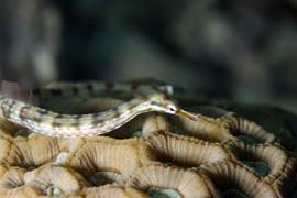 Corythoichthys flavofasciatus EG-38.JPG