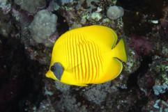 BUTTERFLY Chaetodon semilarvatus EG-39.J