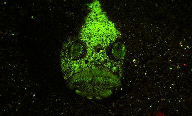 Uranoscopus sulphureus FL-02.JPG