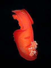Hexabranchus sanguineus EG-062.JPG