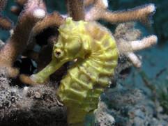 Hippocampus fuscus EG-27.JPG