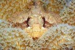 Scorpaenopsis barbata EG-086.jpg