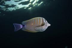 Zebrasoma desjadinii EG-38.jpg