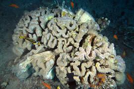 MBC2010-Bubble-Coral-17.JPG