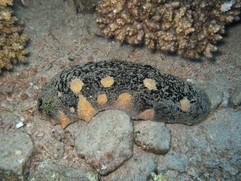SEA CUCUMBER Holothuria nobilis 12.JPG
