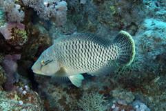 Cheilinus undulatus EG-20.JPG