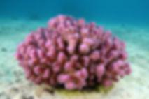 Pocillopora damicornis EG-47.JPG
