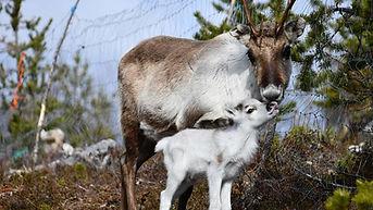 Reindeer calf and mother at Reindeerfarm
