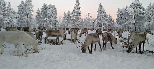 Reindeer heard at Reindeerfarm Petri Mat