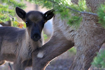 Reindeer calf Reindeerfarm Petri Mattus.