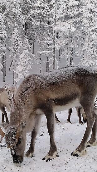 Reindeer in Lapland Reindeerfarm Petri M