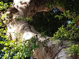 מכתב לרון חולדאי, העצים משאב עירוני נדרשת הוראת שעה להגנתם.
