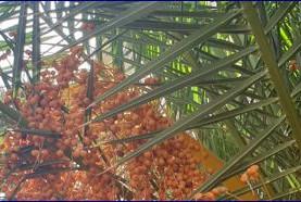 התנגדות אוסי בנימין לפטור מרישיון כריתה לעצי דקל, פיקוס, מטע ועוד 2.9.2021