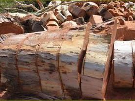 אקליפטוס המקור - לא עץ פולש .