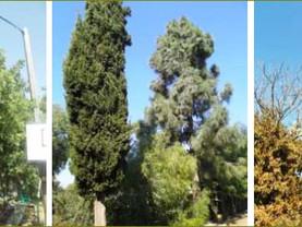 כריתת 771 עצים גדולים באלקנה-ללא רמז להיתר בניה. השיטה להתעלם מהחוק- הוטמעה גם ביהודה ושומרון.