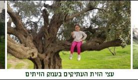 רישיונות כריתה עמק הזיתים ירושלים, האם העצים  זכו להגנת החוק