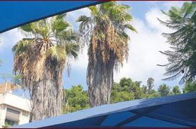 מיקסום כריתת עצי דקל בהוראת פקיד יערות ממשלתי ארז ברקאי