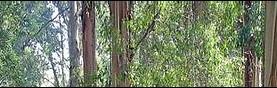 מכתב לשר החקלאות, אקליפטוס המקור - לא עץ פולש , תתערב, עצור את הכריתות.