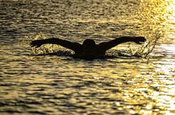 Swimmer on Sunset