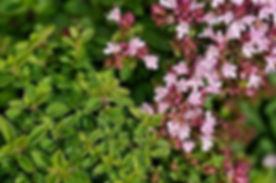 Thyme w Flowers.jpg