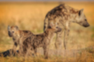 Liuwa Plains, Hyena, Frank Wietzer, Land & Lake Safaris, Wildlife, Africa, Travel, Wild Wild West, Tour, Ohotograohy, Wildlife Photography
