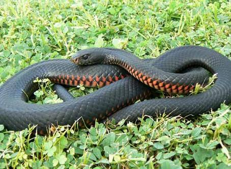 Snake Bites & Your Pet