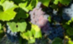 Grenache grape clusters in the sun