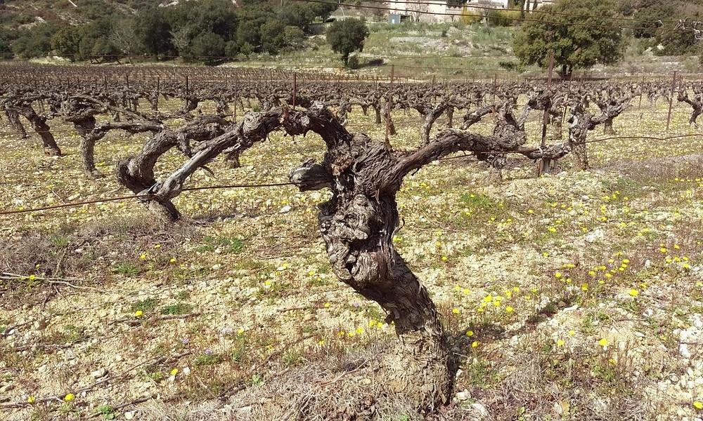 Dormant Grenache vines