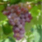 Vanessa Grape.jpg