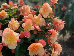 Begonia Fragrant Falls Peach.jpg